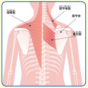 肩甲骨の構造になります。