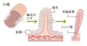 小腸の絨毛です。